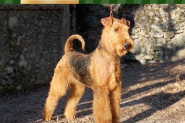 airedale terrier iulius terriers