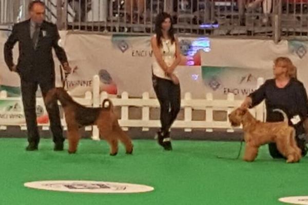 airedale terrier irish soft coated wheaten terrier iulius terriers