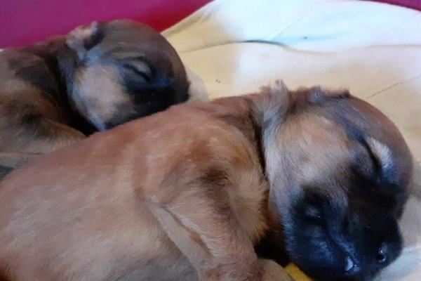 cuccioli irish soft coated wheaten terrier