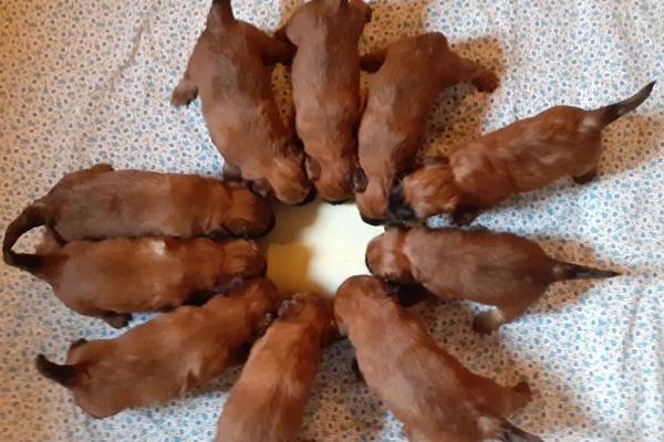 cuccioli irish soft coated wheaten terrier iulius terriers