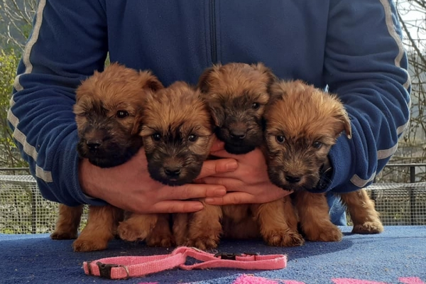 cuccioli irish soft coated wheaten terrier iulius terriers