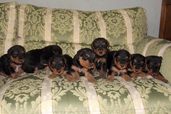 cuccioli airedale terrier iulius terriers