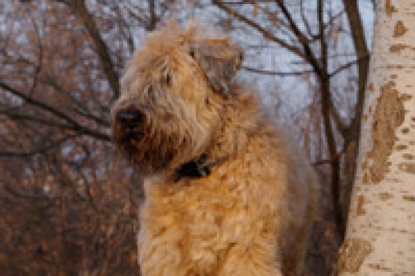 irish soft coated wheaten terrier iulius terriers