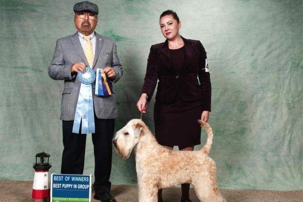 irish soft coated wheaten terrier iulius terriers